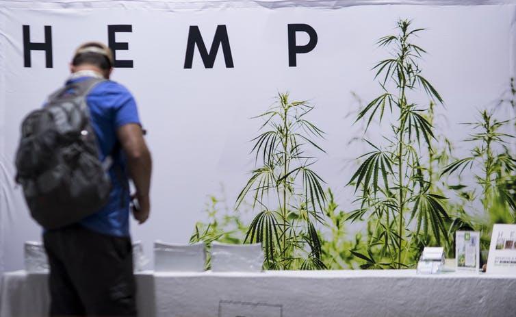 Homme portant un sac à dos se penche sur une rangée de plantes de chanvre