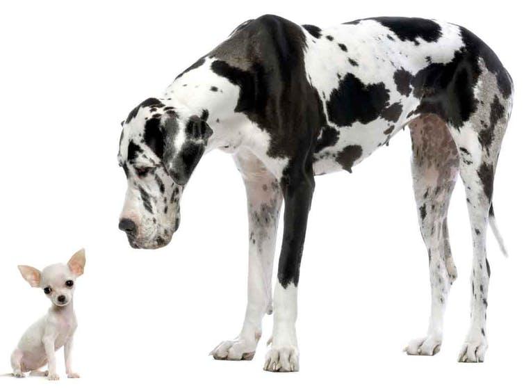 Un petit chihuahua est assis à côté d'un grand danois géant